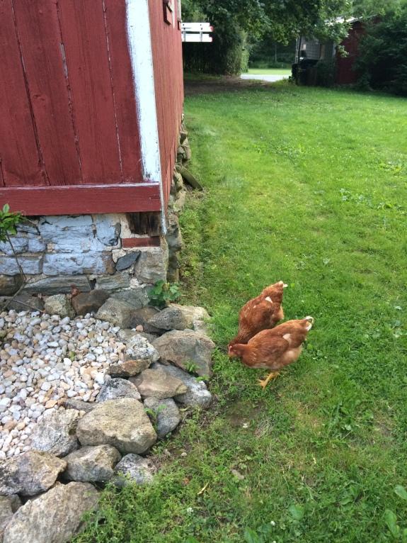 Chickens eating my weeds! Bonus!