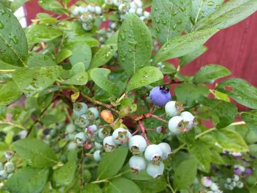 blueberries are getting ripe