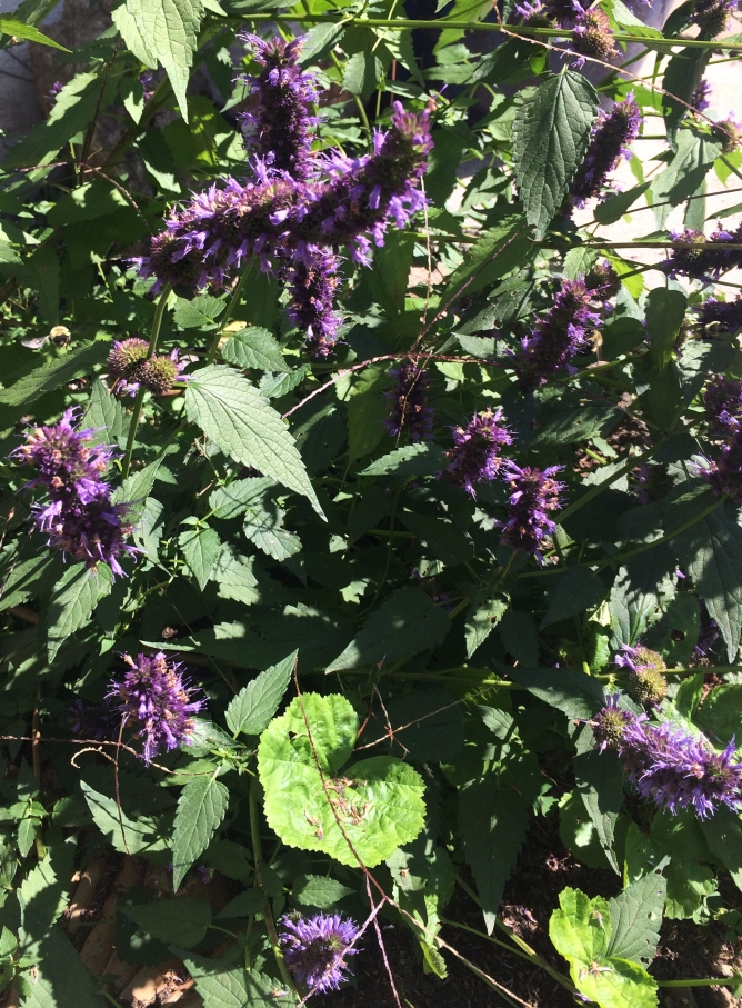 Black Adder attracts so many bees!
