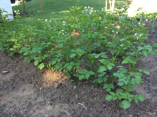 Hilled growing potatoes